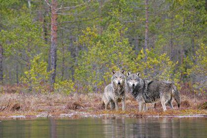 Vilkai vengia konfrontuoti su stambesniais už save aviganiais šunimis. Valdo Augustino nuotr.