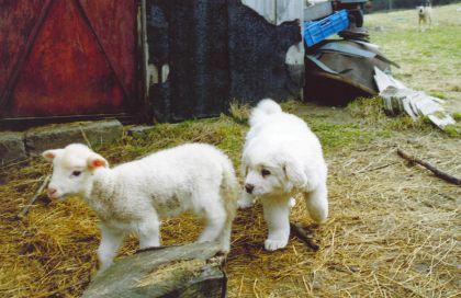 Visų aviganių pratinimas prie bandos vienodas – jie turi būti auginami su naminiais gyvuliais kartu, kad vėliau juos imtų laikyti savo šeima ir saugotų kaip savo šeimą. Sabinos Nowak nuotr.